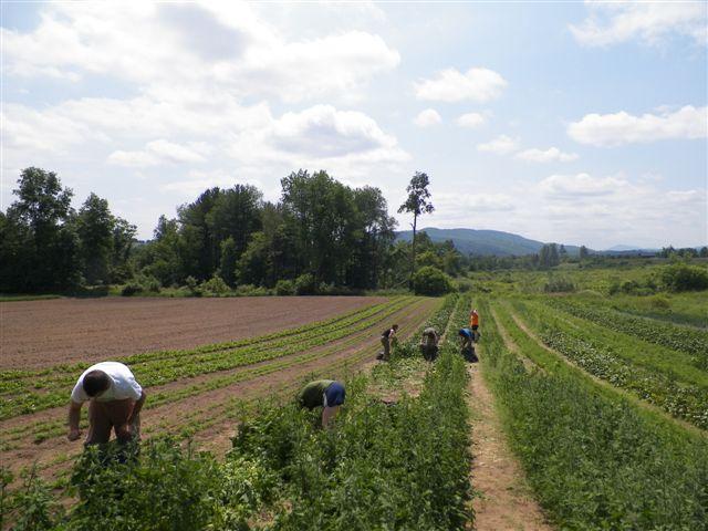GWF Spinach Glean Field4